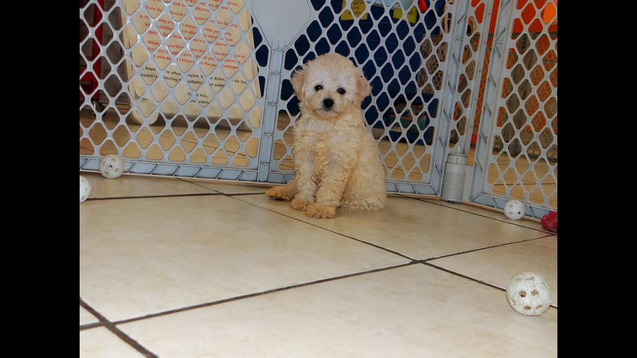 Toy Poodle Puppies Dogs For Sale In Atlanta Georgia