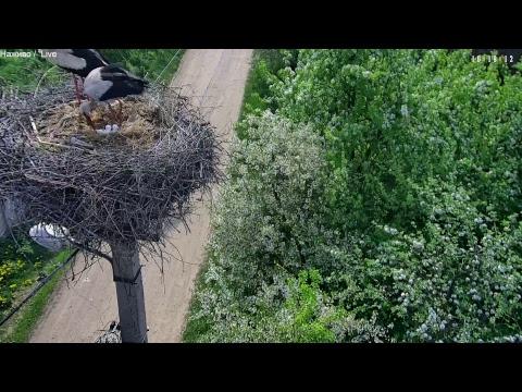 Live stream, Гніздо бузьків, с. Тязів, Івано-Франківська обл., Україна, online HD Camera  - 2018