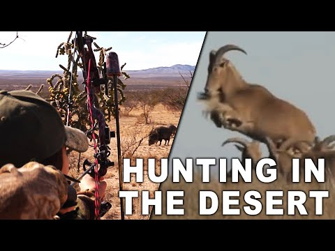 Wild Aoudad Sheep And Javelina Hunt In West Texas