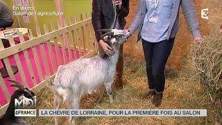 ANIMAUX : La chèvre de Lorraine, une race très rustique !
