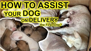 How to assist your Dog during Whelping  the delivery process