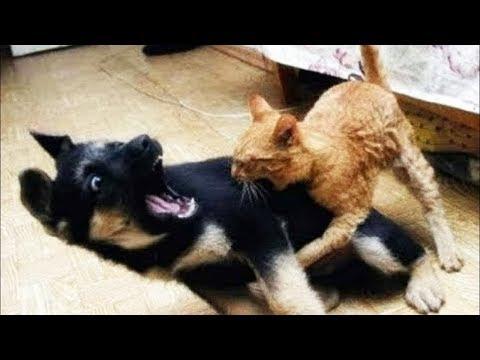 Dog Vs Cat: Cute 'Ninja' Kitten Shows Doberman Who's Boss | WORLD PET TV