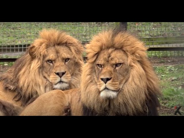 Meet Rock And Roar The Living Cousins Of The Extinct Barbary Lion Youtube