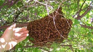 Catching Honey Bee Swarm