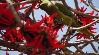 ожереловый попугай Крамера на эритрине