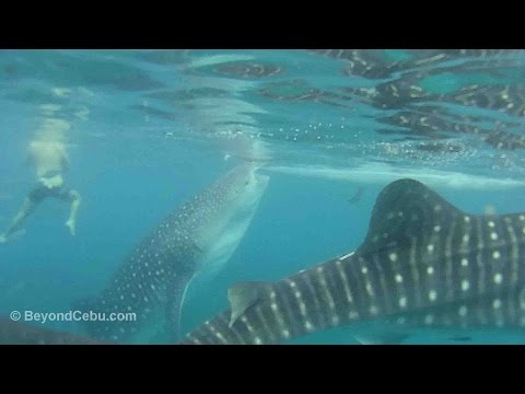 Oslob Whale Sharks and Tumalog Falls Guide