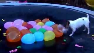 Супер прикол.Собака и воздушные шары.Топ приколы.март 2015.Смешные животные.(Супер прикол.Собака и воздушные шары.Топ приколы.март 2015.Смешные животные., 2015-03-05T21:02:48.000Z)
