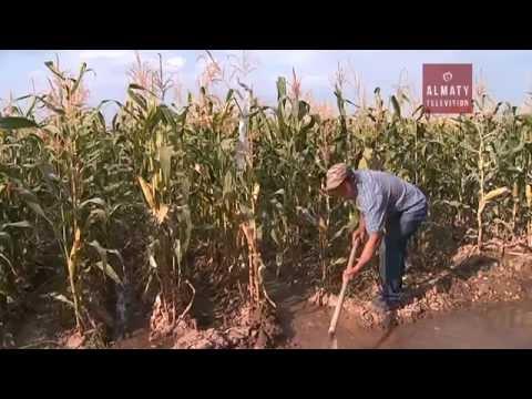 Казахстанские учёные научились выращивать кукурузу без полива (09.09.16)
