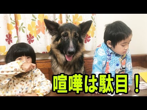 GermanShepherd.シェパード犬子供達の喧嘩の仲裁・仲良く遊ぼう!トランプ遊び