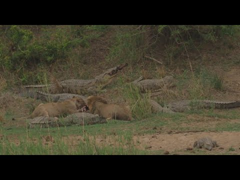 Sharing A Meal! Crocodiles & Lions Sharing A Carcass On The Banks Of The Sabie River In Kruger Park