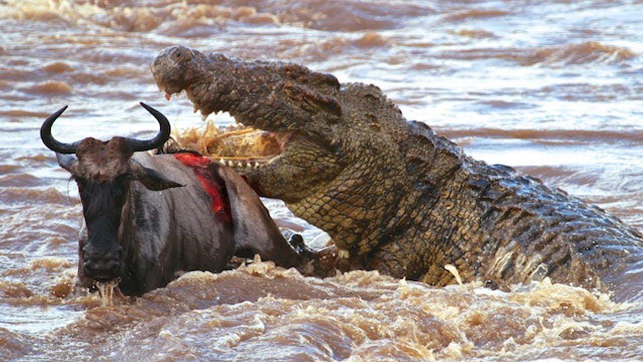 สารคดี โคตรนักล่าแห่งลุ่มแม่น้ำ นักล่าอันป่าเถื่อน Crocodile attack