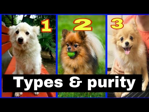 Types and purity of pomeranian. (Culture pom or Indian spitz)