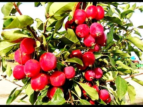 Сорт яблони Долго (Китайка) Malus Dolgo