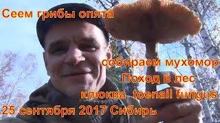 Сеем грибы опята собираем мухомор Поход в лес клюква 25 сентября 2017 Сибирь toenail fungus сбор гри