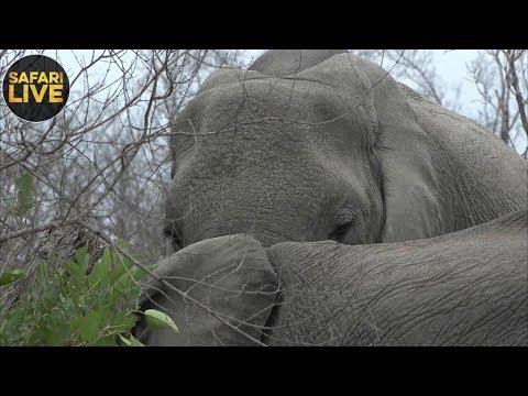 safariLIVE - Sunrise Safari - October 8, 2018