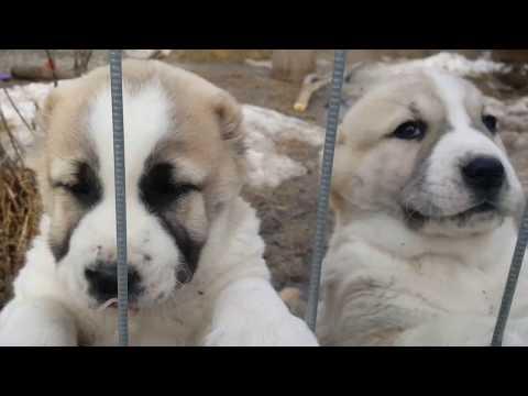Как щенки просят кушать АЛАБАЙ / очень милое видео