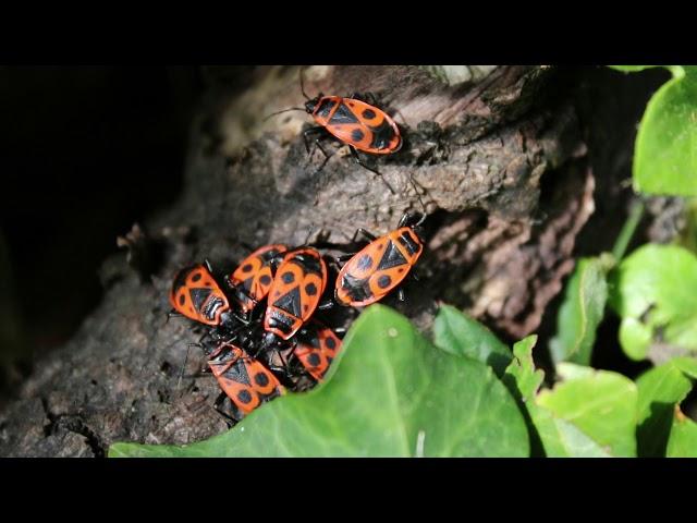 1 minuut natuur: Vuurwantsen - Fire bugs - Pyrrhocore - Feuerwanze