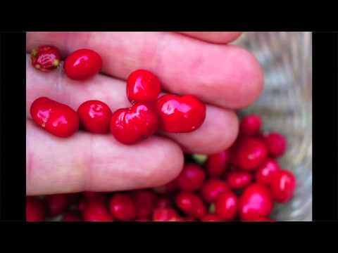Can Ginseng Help Diversify W.Va.'s Economy? Part II