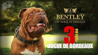 BENTLEY 3 Years Old  Dogue de Bordeaux (French Mastiff)