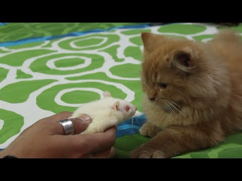 Cat sees a Rat for the first time | Wildly Indian