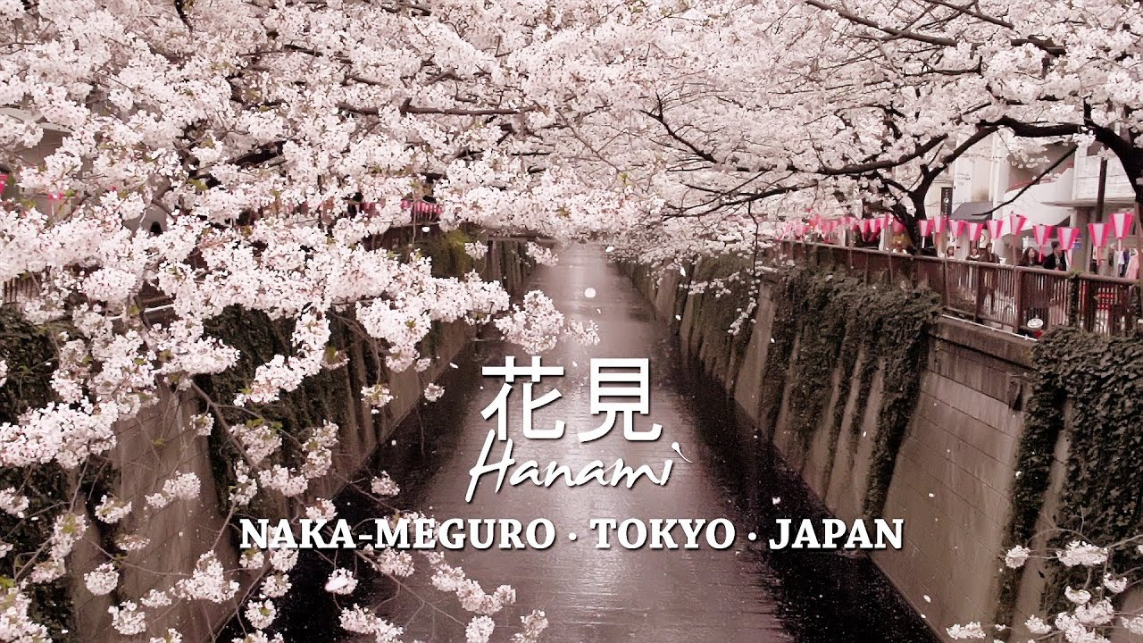 Images Of Snow Falling Wallpaper Cherry Blossoms At Nakameguro Tokyo 目黒川の桜 Youtube