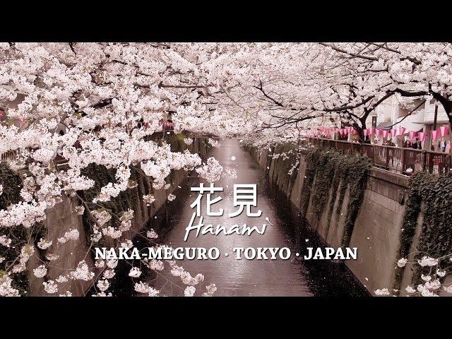 Cherry Blossoms at Nakameguro Tokyo – 目黒川の桜