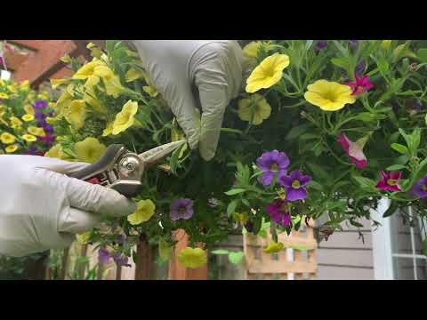 How to Keep your Calibrachoa (Million Bells) Blooming