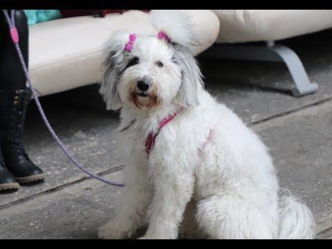 Aisha - Tibetan Terrier agility lesson