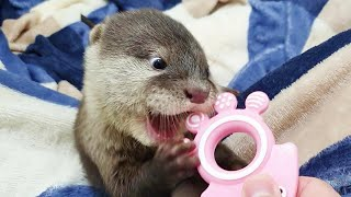 The Baby Otter Has Itchy Teeth!