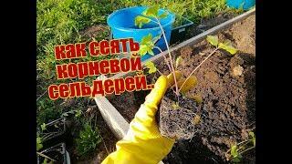 Рассада сельдерея: подготовка и посев семян (10.02.18)