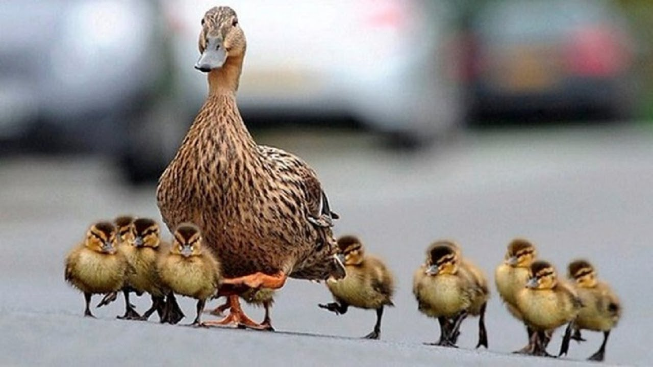 Image result for duck and baby duck