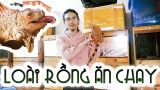 Loai RONG an chay - Rong Nam My (Green iguana) WILDVN TV