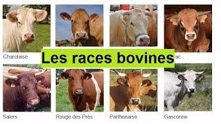 les plus belle races bovine dans le monde