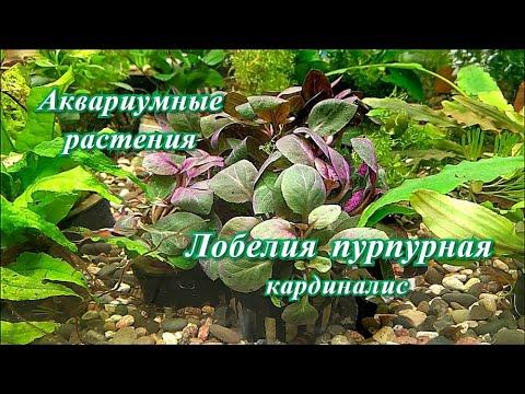 #Аквариумные_растения Лобелия кардиналис.