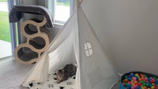 Savannah Cat Enjoying His Teepee Tent! #cute #cat #video