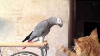 БИТВА ТИТАНОВ (кот Мейн-кун и попугай Жако)