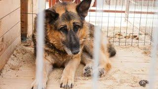 Женщина угостила овчарку в приюте но забирать собаку не стала Через 3 часа в её дверь поскреблись