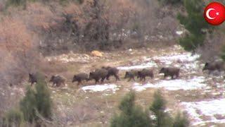 Bol Aksiyonlu yaban domuzu avı / Wild Boar Hunting.