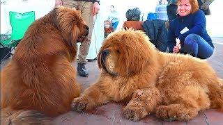 💪Милые великаны. Cute giants. Тибетские мастифы. Tibetan mastiffs.