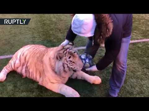 You can't play with teeth here! Welcome tiger, Russia's secret weapon for 2018 World Cup