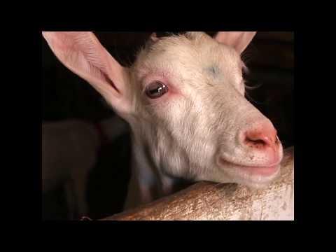 À la rencontre des agriculteurs : MumuBiquette et son fromage de chèvre