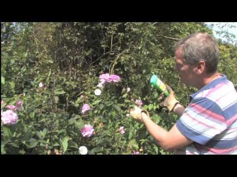 How To Get Rid Of Bindweed Video Roundup Weed