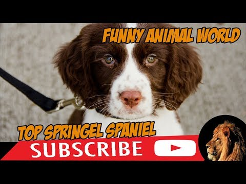 Top #1 Funniest Springer Spaniel Videos