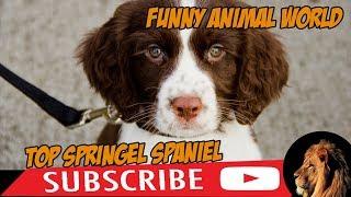 Top #1 Funniest Springer Spaniel Videos