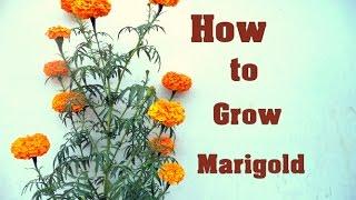 How to Shift Big Marigold In the Pot / गेंदे कैसे लगाएं / Marigold  Care & tips // Mammal Bonsai