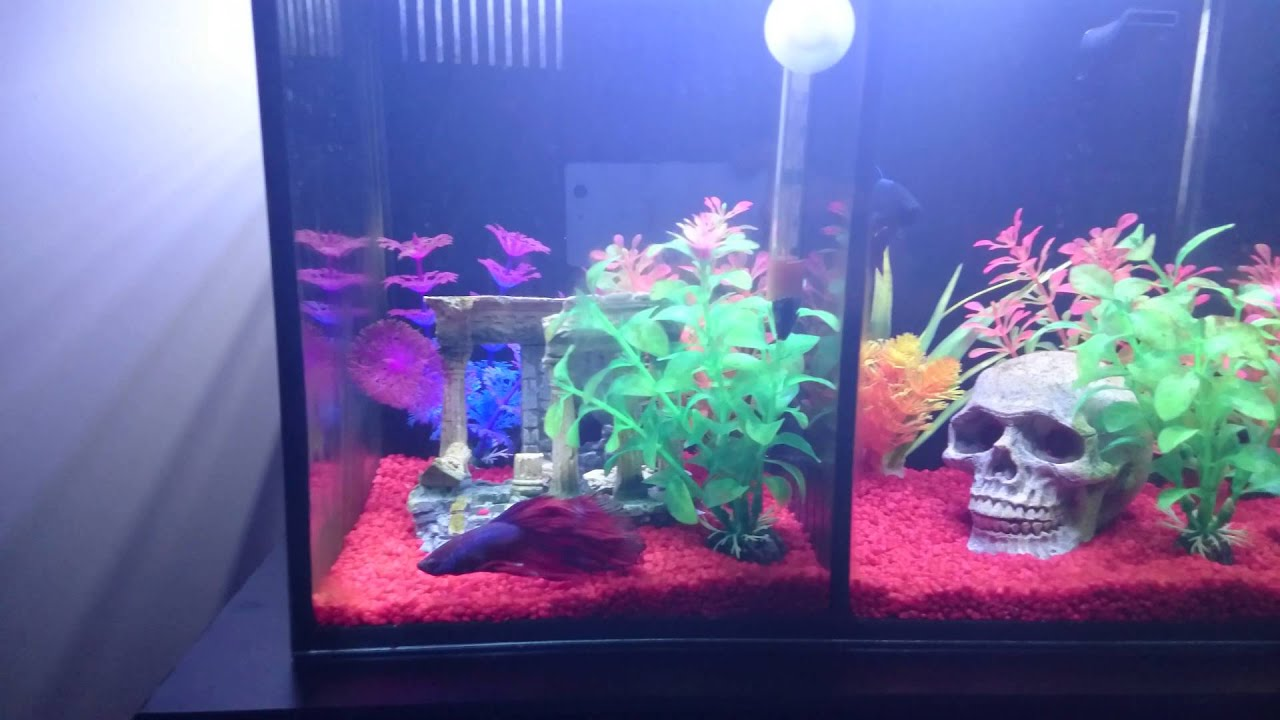 Siamese Fighting Fish In Aqua One Betta Duo Tank Youtube