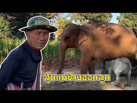 #ลุ้นจะออกลูก แม่ช้างจะออกลูก mather elephant