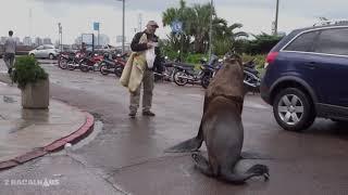 Roberto the sea lion, star of Punta del Este rests on sports car  Punta del Este  Uruguay 03/2019