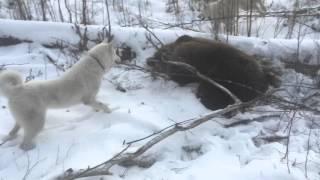 Охота на медведя с Западно-сибирской Лайкой