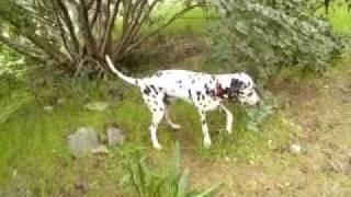 Husky Siberian - Caucasian Mix - Dalmatian